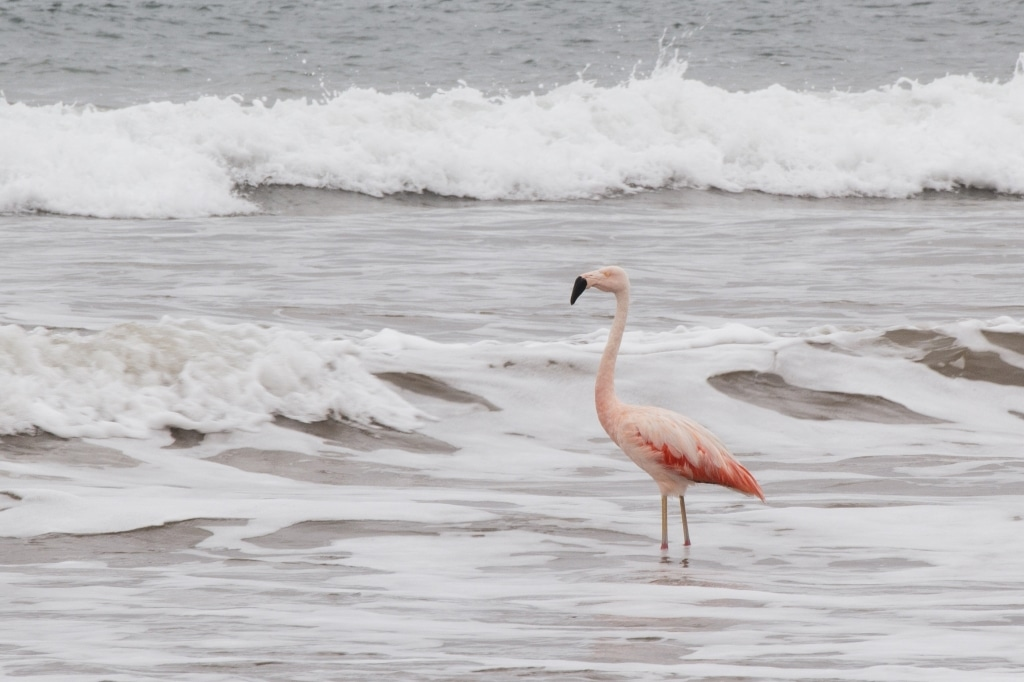 Flamand rose Puerto Lopez Equateur