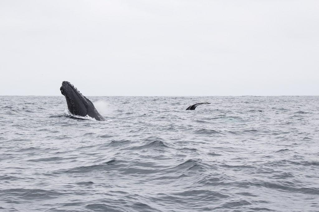 Equateur Coeur de voyageurs Puerto lopez baleines