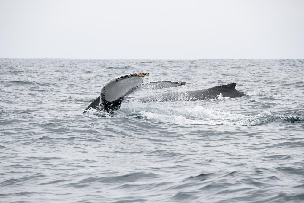Equateur Coeur de voyageurs Puerto lopez baleines détail