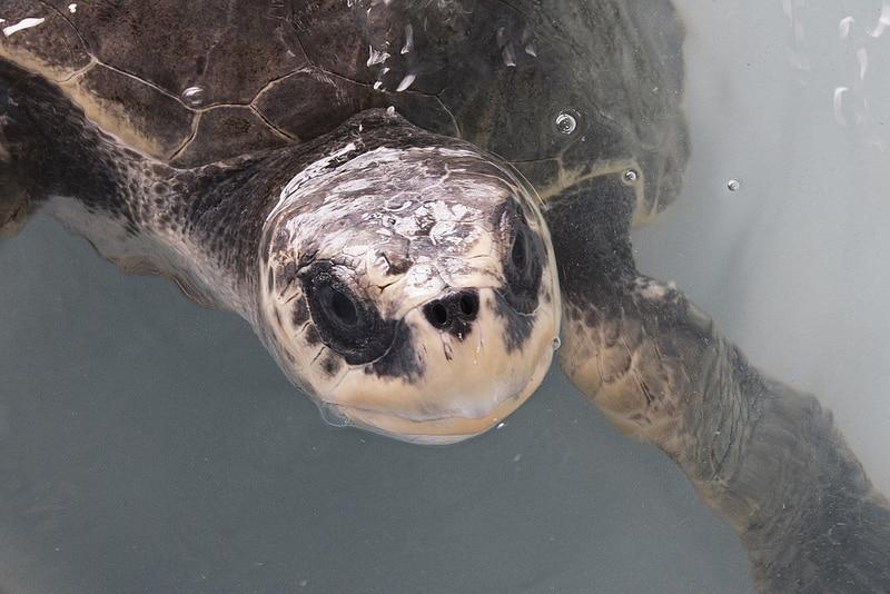 Equateur Coeur de voyageurs Puerto lopez tortue détail