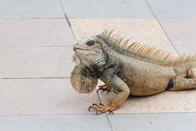 Iguane au Guabo - Awashamu