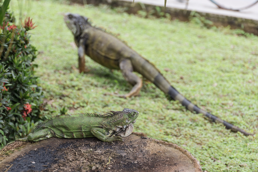 2 Iguanes au Guabo